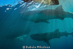 whaleshark by Babula Mikulova 